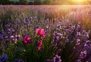 Perfume french riviera, Grasse
